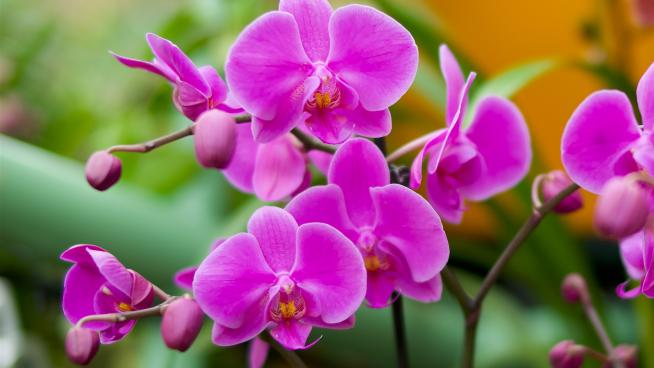 The Charming Phalaenopsis Orchid Hybrids - Orchid Girl and Plants