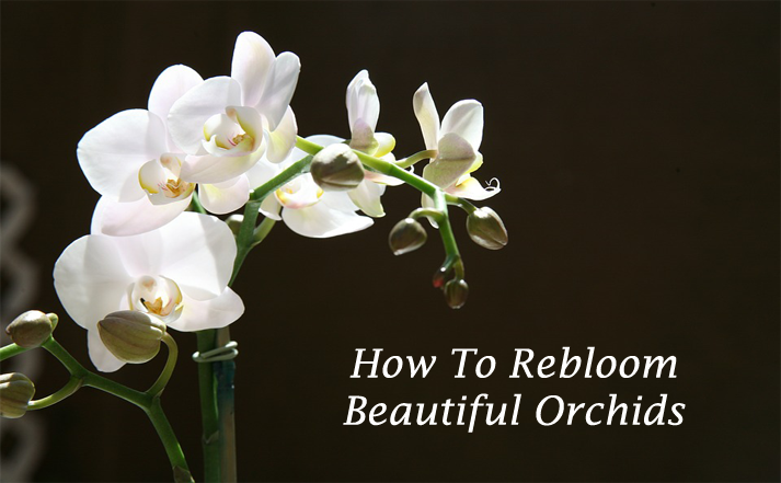 How To ReBloom Orchids - Orchid Girl and Plants