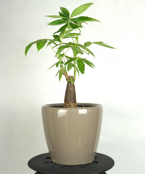 "MONEY TREE CLASSICO 9"" - Orchid Girls and Plants"