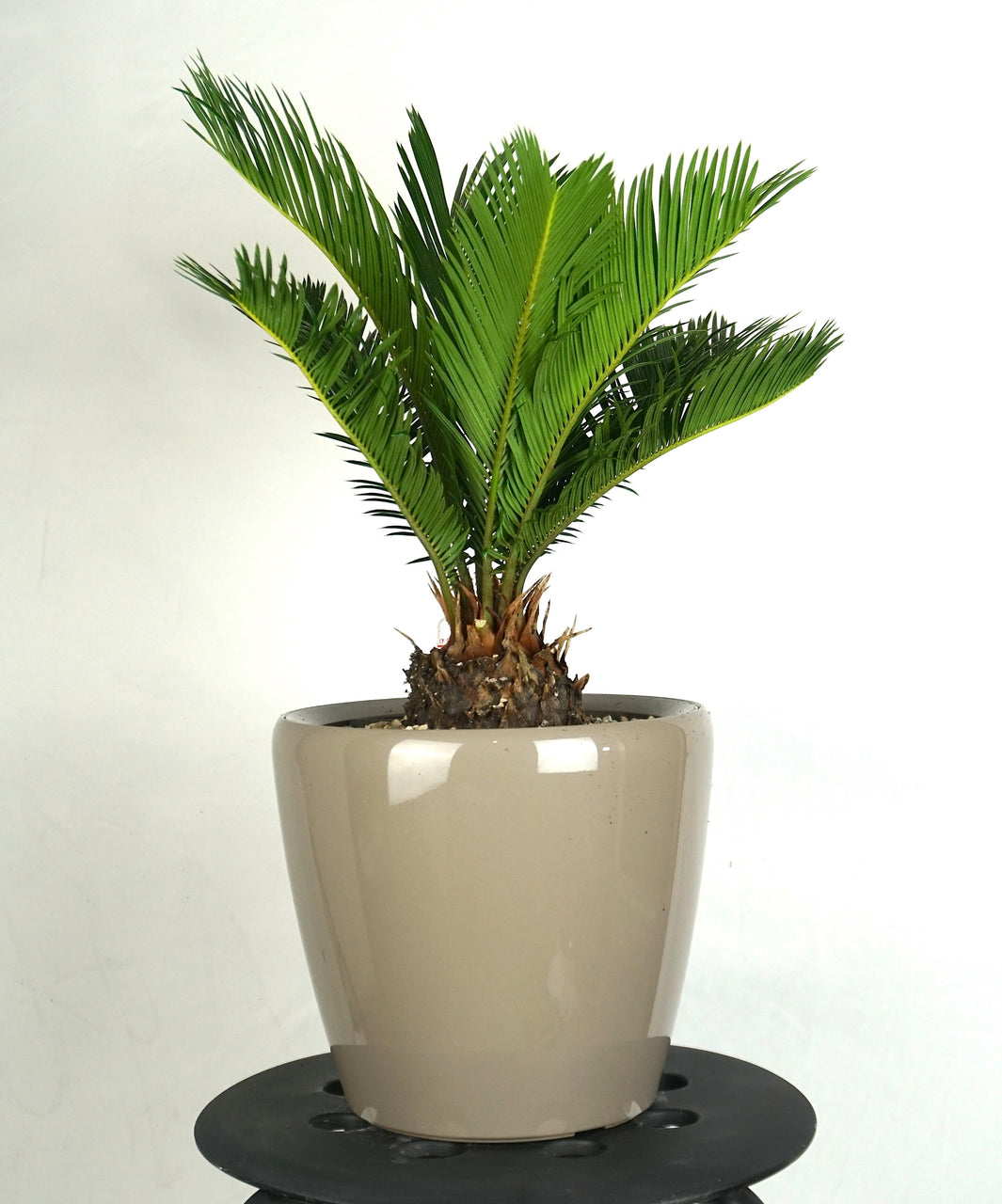 "SAGO PALM CLASSICO 9"" - Orchid Girls and Plants"