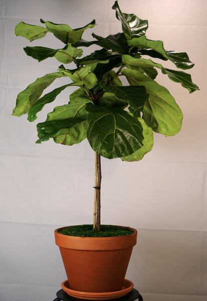 Fiddle Leaf Fig Tree - Orchid Girls and Plants