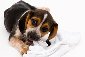 What to Do If Your Dog Swallowed a Sock