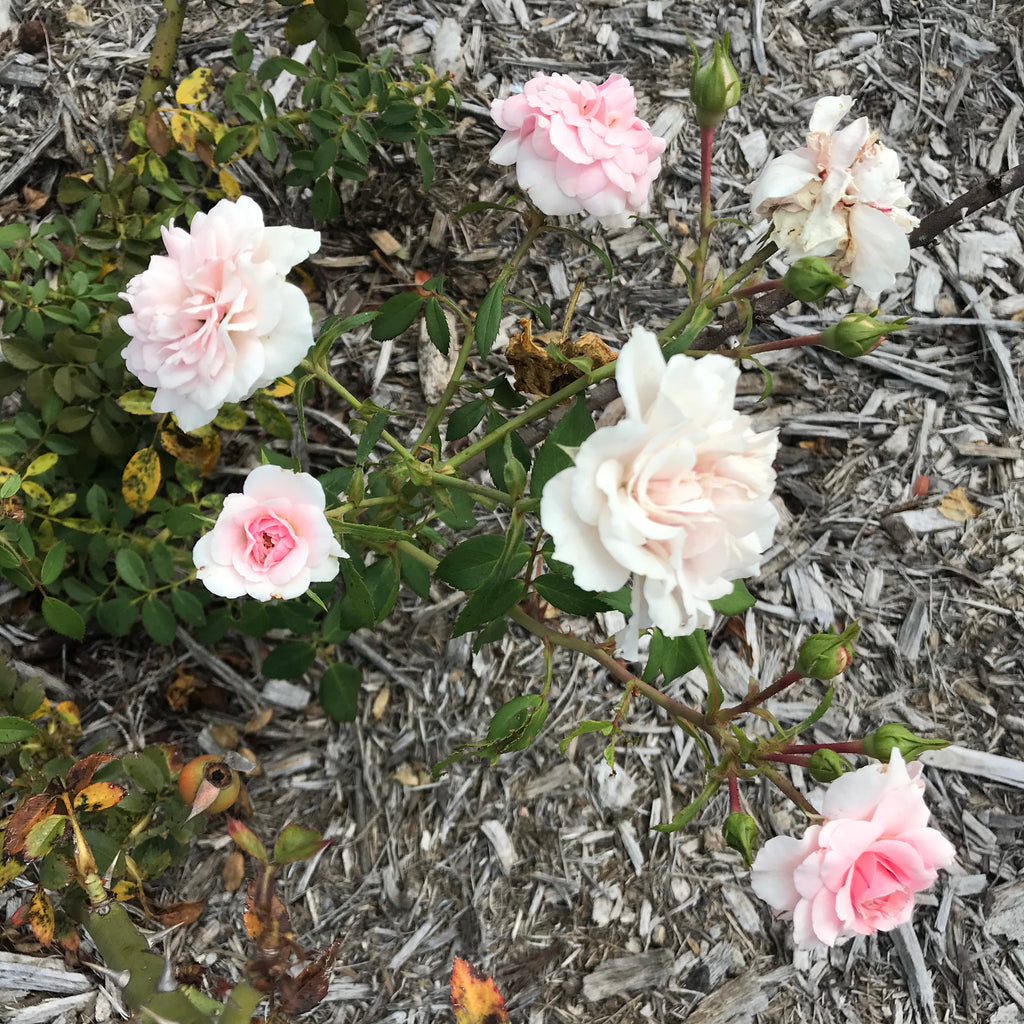 pink roses in New Farm Park