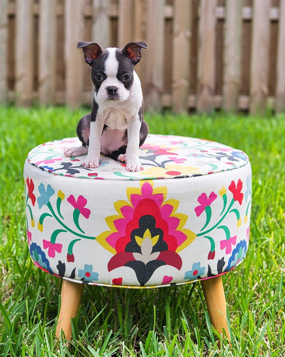 How to Easily Photography Your Dog in a Simple Dog Photoshoot — Cute Boston Terrier Puppy