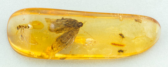 moth in amber