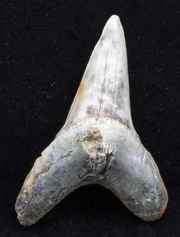 large cretoxyrhina mantelli shark tooth