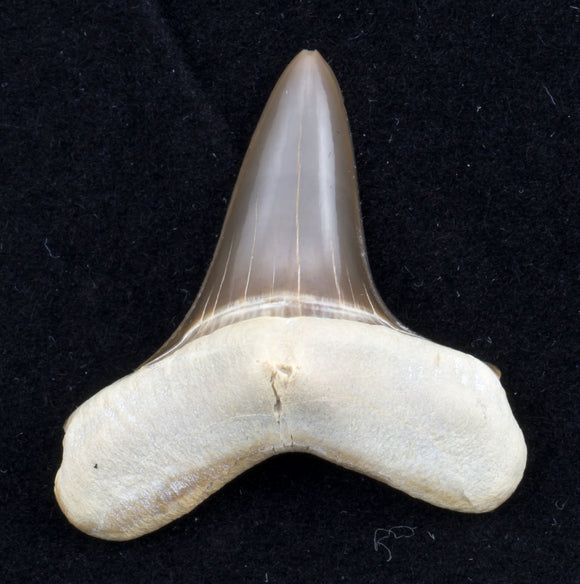 Cretoxyrhina mantelli shark tooth