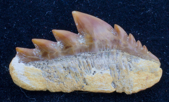 Hexanchus agassizi cow shark tooth