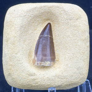 Mosasaur tooth find your own kit