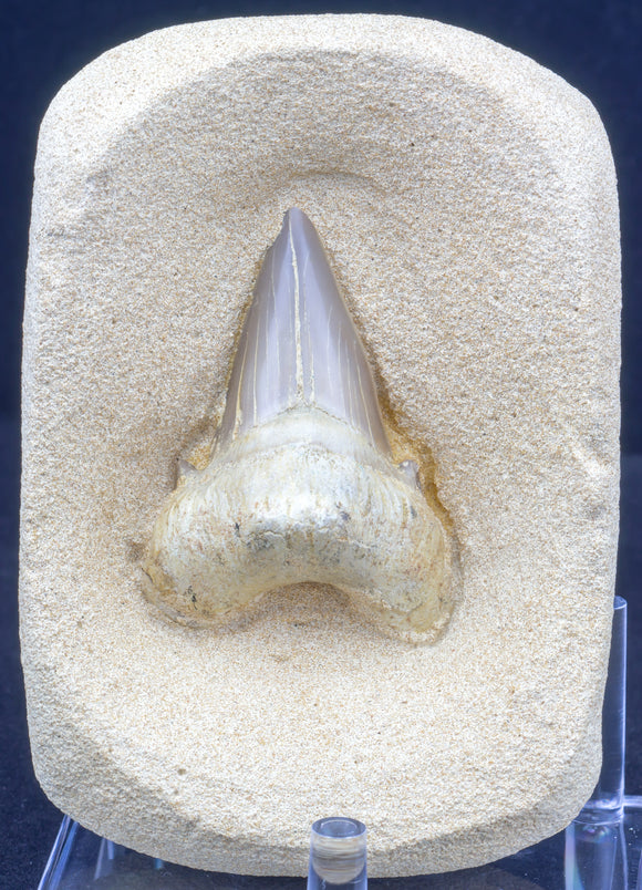 Otodus Shark Tooth Kit