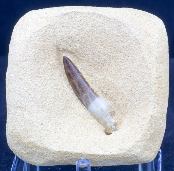 Plesiosaur Tooth find your own