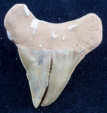 otodus obliquus pathological shark tooth