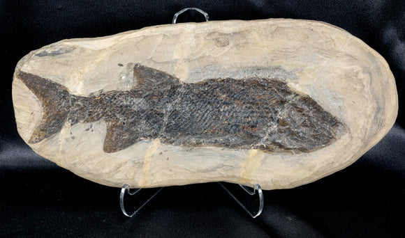 Reticulolepis sp Permian age fossil fish Germany