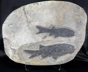 Permian Fish Fossil Paramblypterus sp and Amblypterus sp Germany