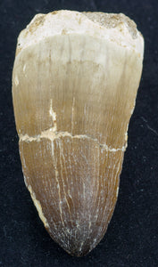 prognathodon currii mosasaur tooth large