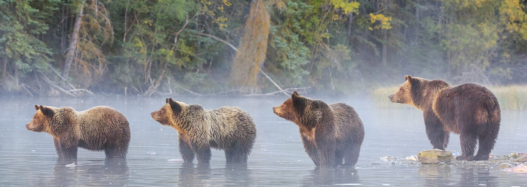 Grizzly bear photography - British Columbia