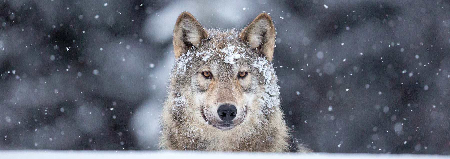 Wild wolf photography - John E. Marriott