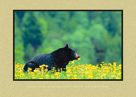 Black Bear in Dandelions, Jasper National Park