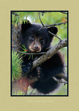 Tiny Black Bear Cub