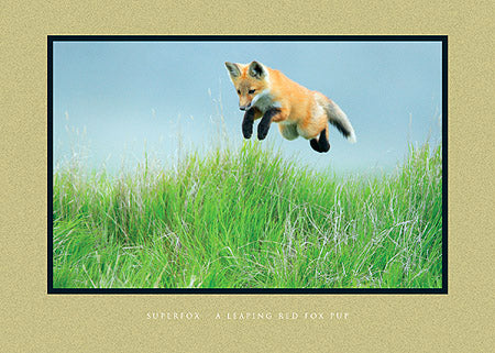 Superfox - A Leaping Red Fox Pup