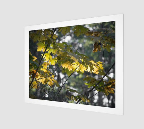 Fall Maple 16x20 Art Print from Engrooved Splash Productions located in British Columbia, Canada.