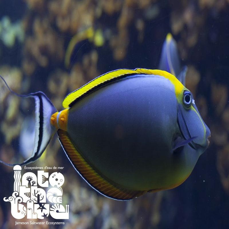 Tangs are an awesome marine fish!