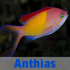 Into the Blue - Anthias