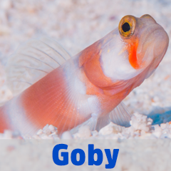 Into the Blue - Goby