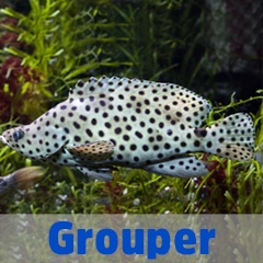Into the Blue - Grouper