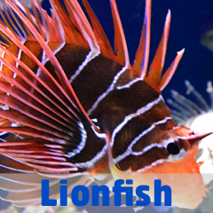 Into the Blue - Lionfish