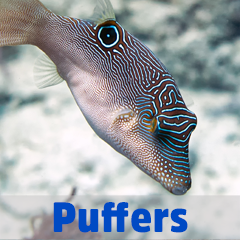 Into the Blue - Puffers