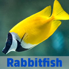Into the Blue - Rabbitfish
