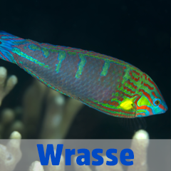 Into the Blue - Wrasse