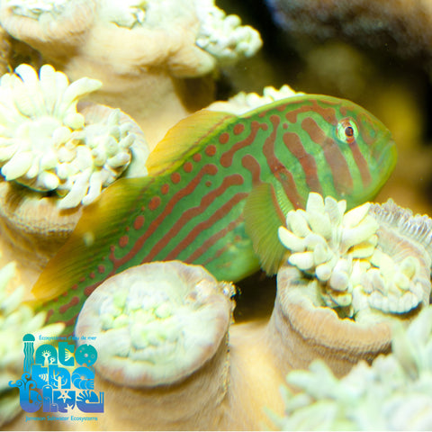 Blue/Green Clown Goby