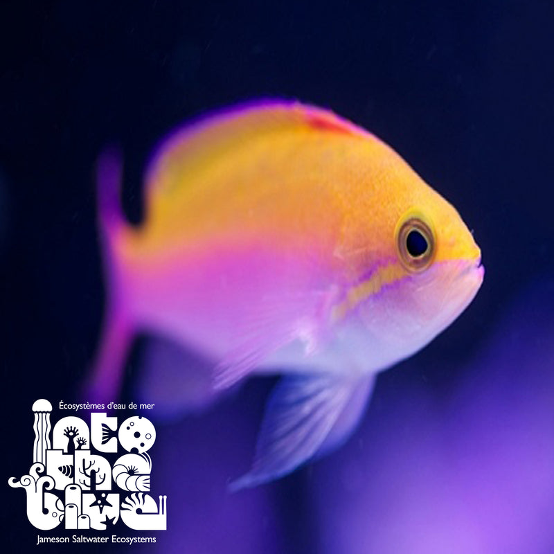Bicolour Anthias