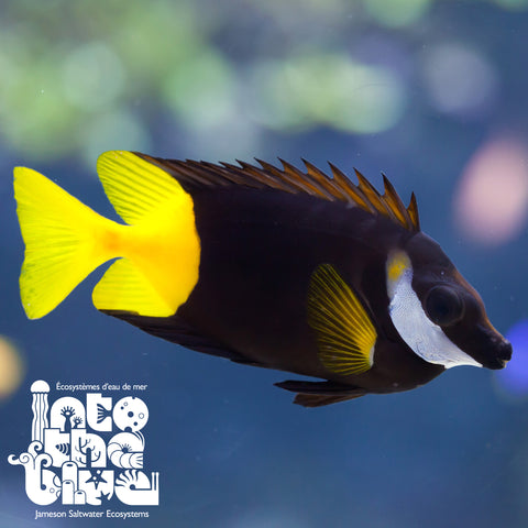 Bicolour Foxface Rabbitfish