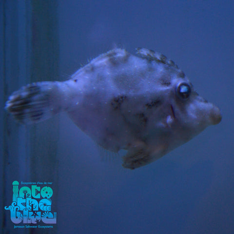Aptasia Eating Filefish