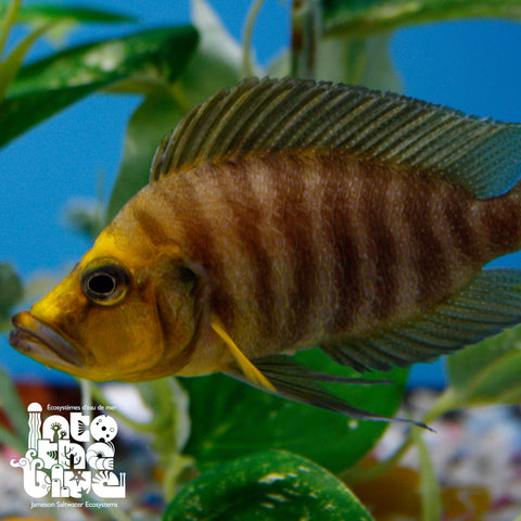 Gold Head Compressicep Cichlid