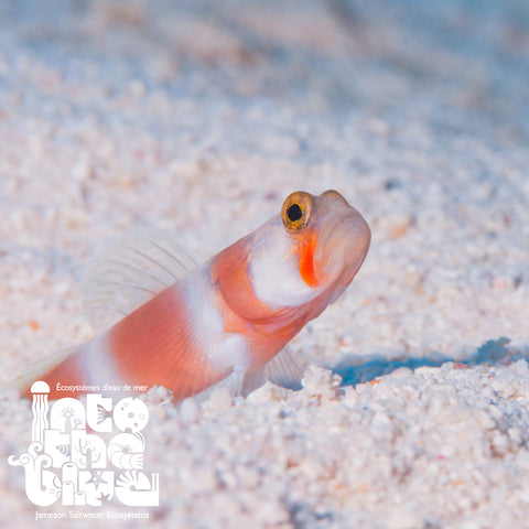 Aurora Pink Bar Shrimp Goby