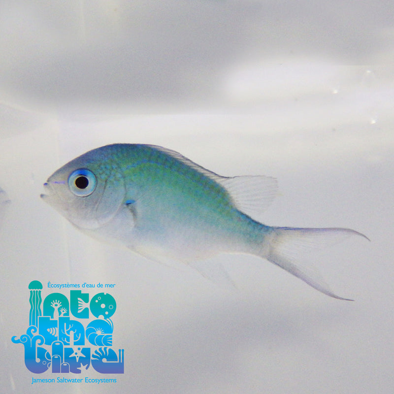 Into The Blue - Green Chromis