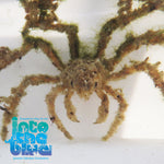 Into The Blue - Decorator Crab