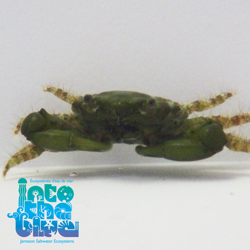 Into The Blue - Emerald Crab