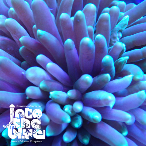 Green Long Tentacle Anemone