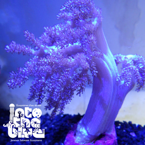 Into the blue- Kenya Tree Coral