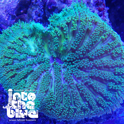 Into the Blue - Maxi Mini Carpet Anemone