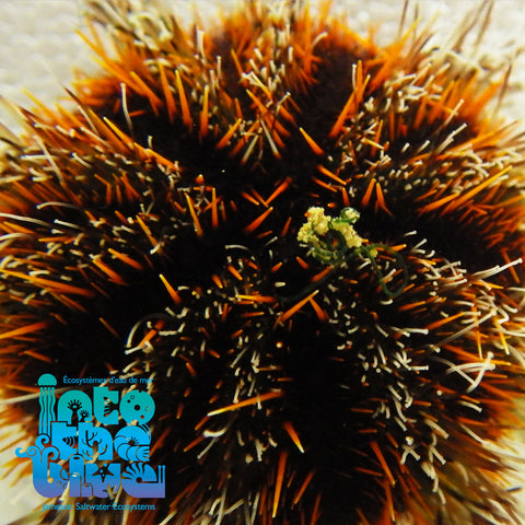 Into the Blue - Multicolor Urchin