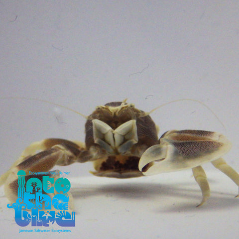 Into the blue- Porcelain Crab