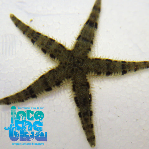 Sand Sifting Star
