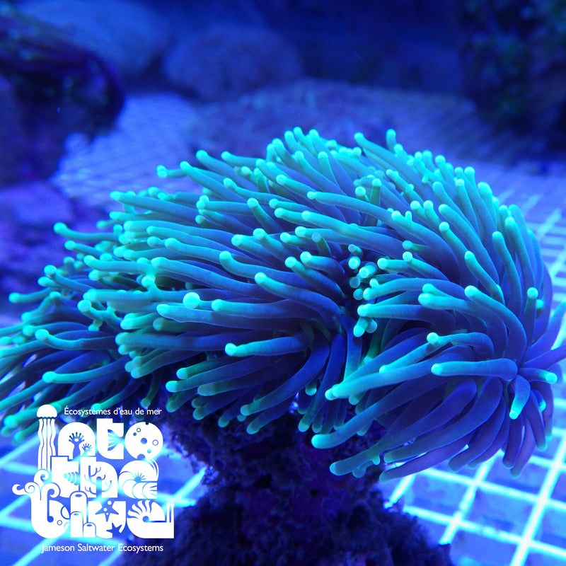 Into the blue- Torch Coral