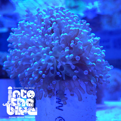 Into the blue-frogspawn coral